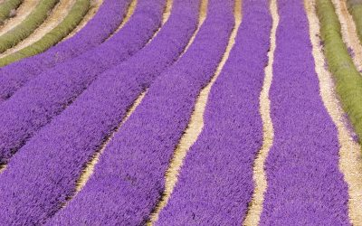 Learn how to use lavender oil for anxiety